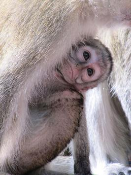 Baby Monkeys Wallpapers Pictures HD screenshot 3