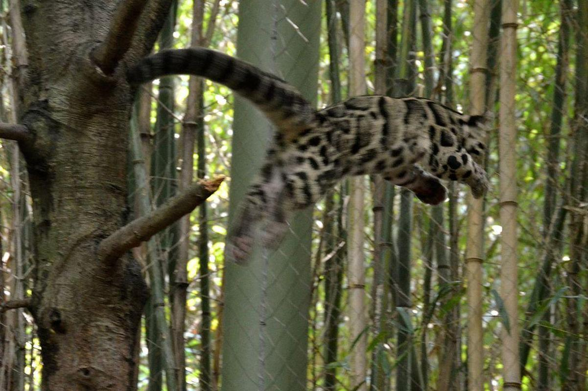 Clouded Leopard Latest Hd Wallpapers Free Download