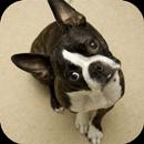 Boston Terrier Wallpapers HD APK