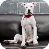 Dogo Argentino Wallpapers HD icon