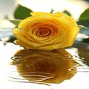 Yellow Rose Shine LWP APK
