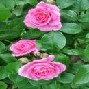 Bright Pink Roses LWP APK