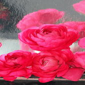 Rainy Pink Roses LWP icon