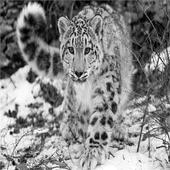Snow Leopard icon
