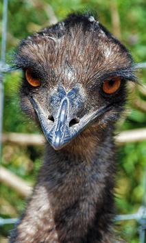 Emu Wallpaper poster