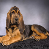 Bloodhounds Wallpapers icon