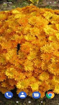 Chrysanthemum Wallpaper screenshot 6