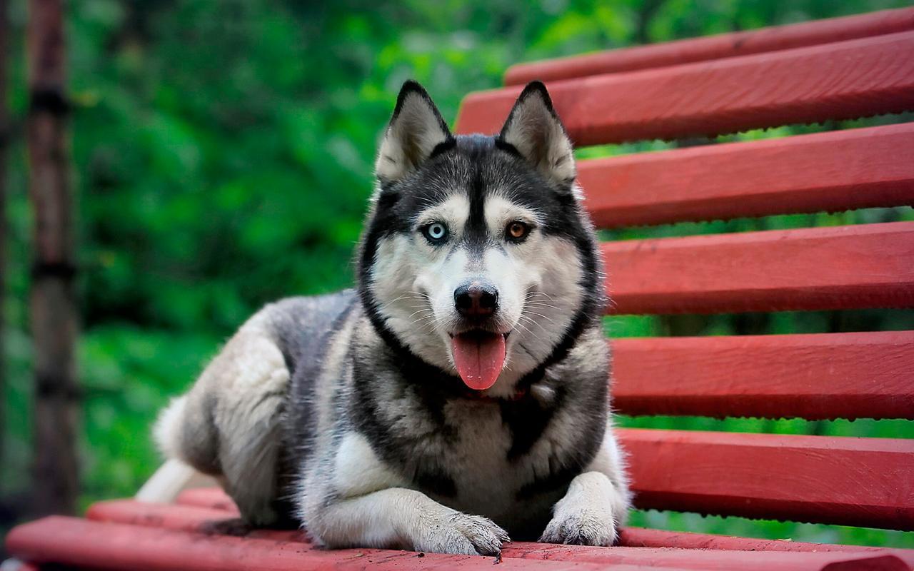 Husky Dog Wallpapers Fullhd Backgrounds Themes For Android Apk Download
