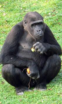 Gorilla Wallpaper screenshot 1