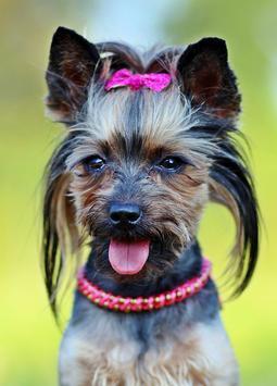 Yorkshire Cute Puppy Fonds D Ecran Chien Gratuit Pour