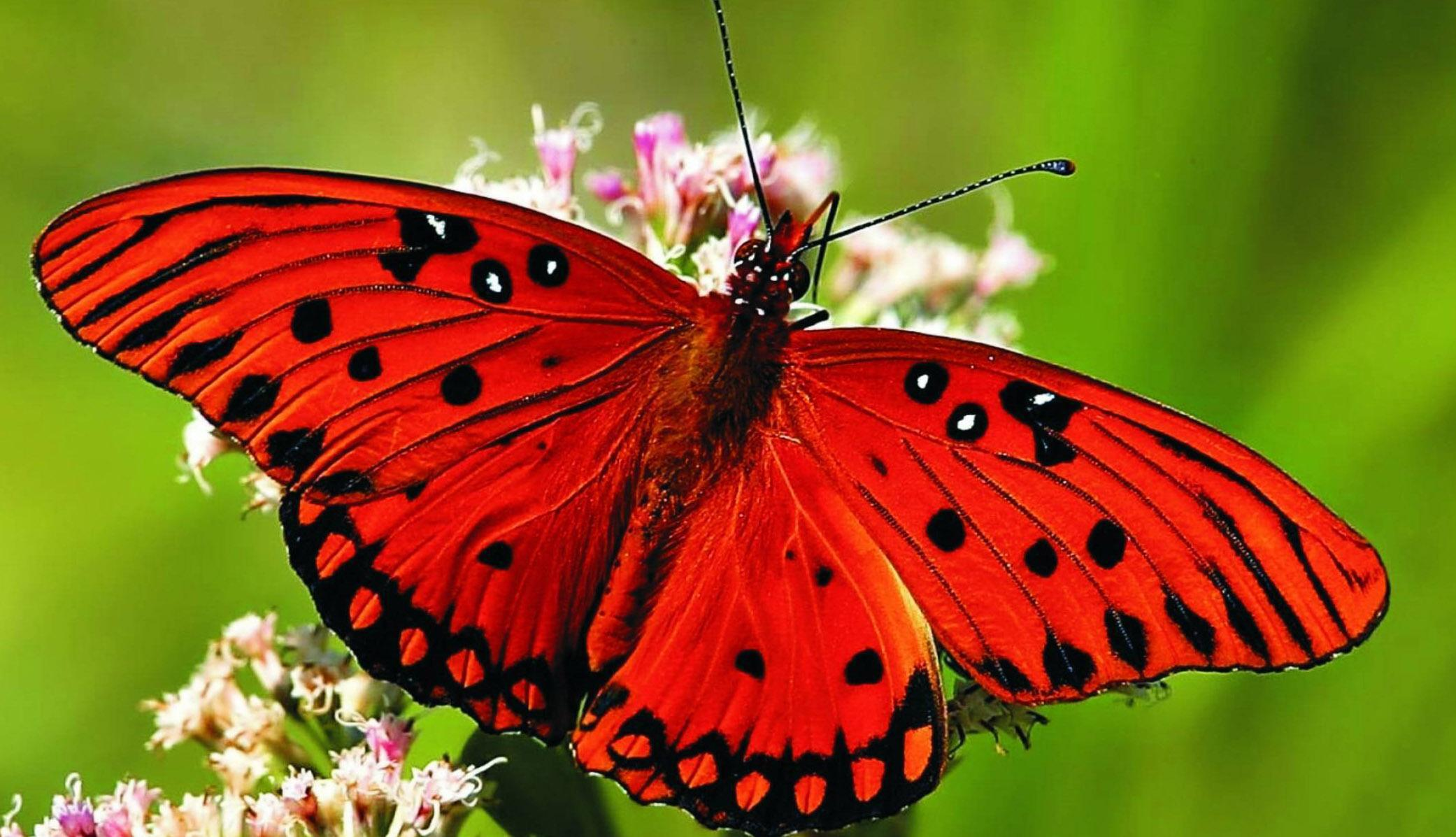 Butterfly Wallpaper 4k For Android Apk Download