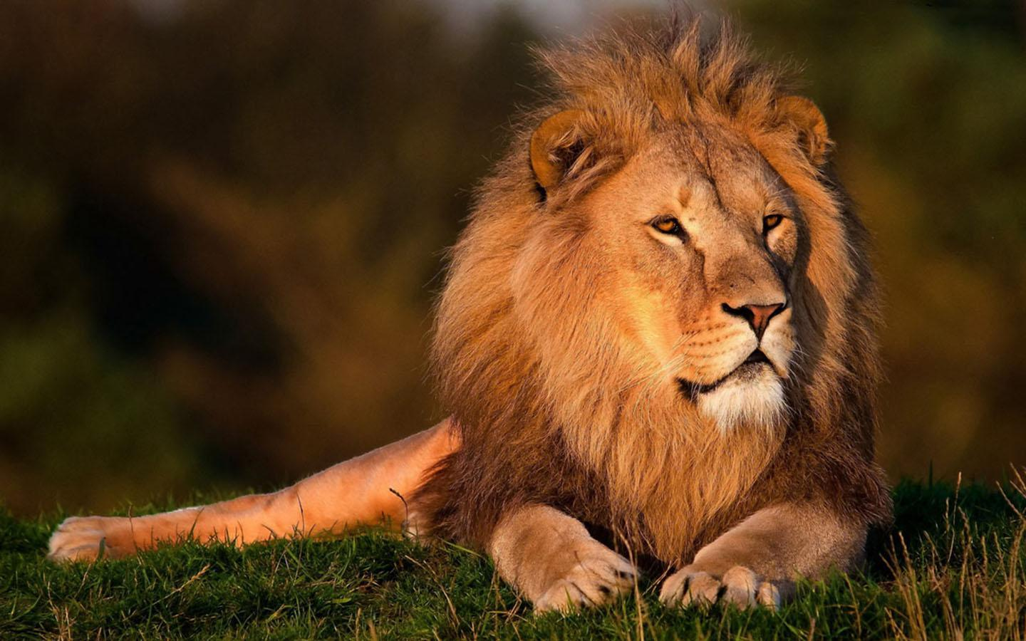 Lions Hd Wallpaper For Android Apk Download