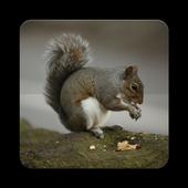 Chipmunk Wallpaper HD icon