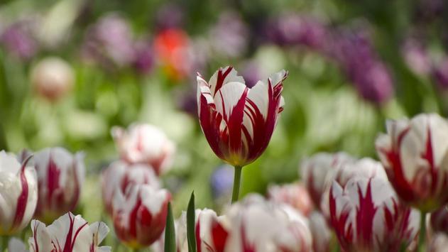 Tulips Live Wallpaper screenshot 4