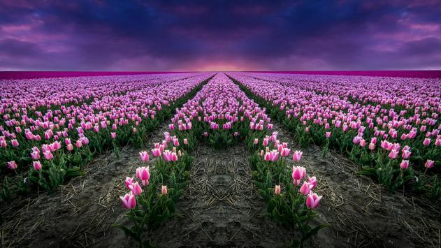 Tulips Live Wallpaper screenshot 12