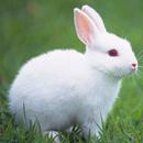 Talking Rabbit APK