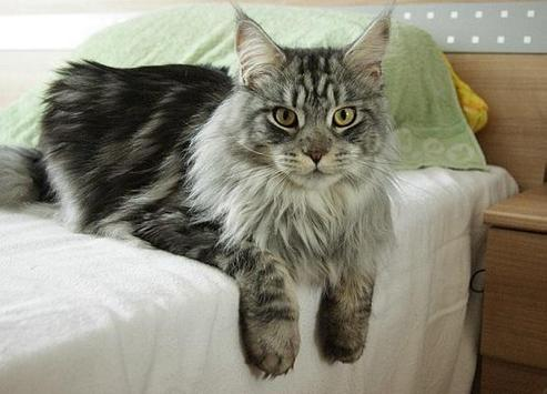 Maine Coon Wallpapers poster