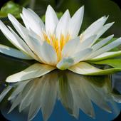 Lily HD Wallpaper icon