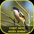 Cendet Gacor Ngerol Nembak Offline