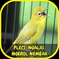 Pleci Ngalas Ngerol Nembak Offline