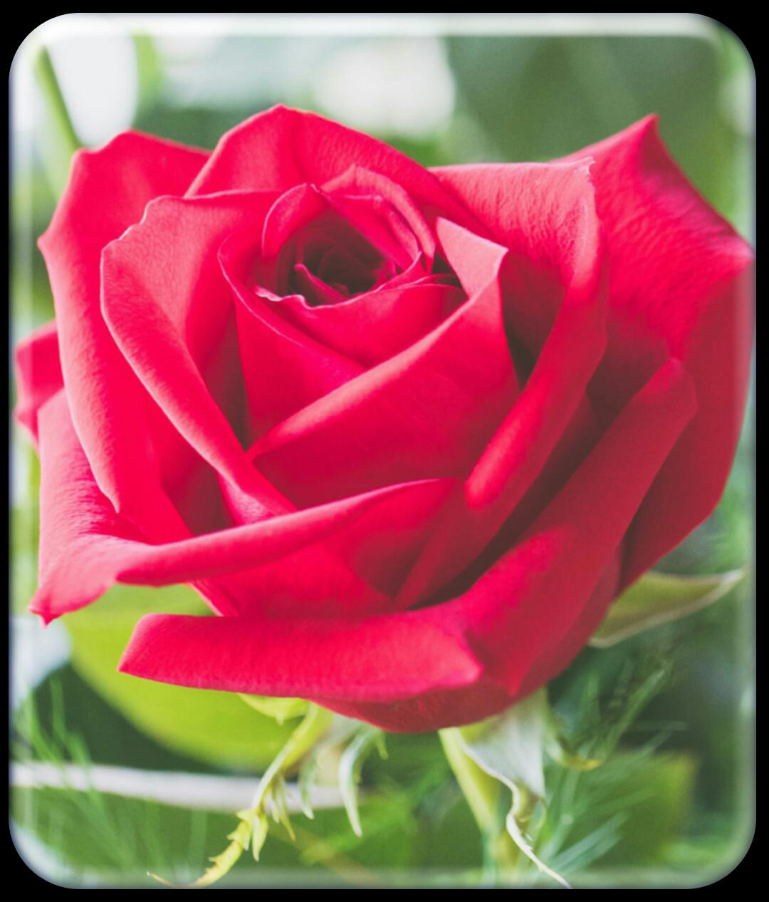 Red Rose Wallpaper Hd For Android Apk Download
