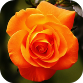 Beautiful Roses icon