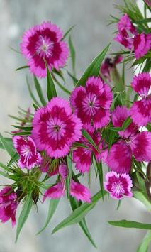 Carnation screenshot 1