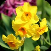 Daffodils icon