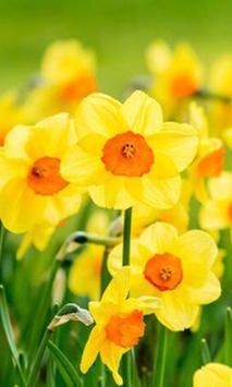 Daffodils screenshot 4