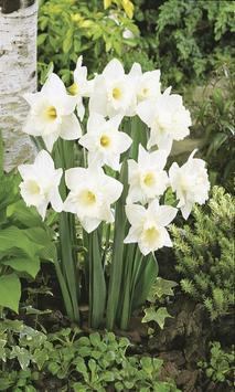Daffodils screenshot 1