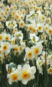 Daffodils screenshot 3