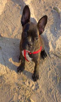 French bulldog screenshot 1