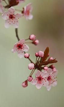 Sakura screenshot 4