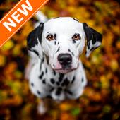 Dalmatian Wallpapers HD icon