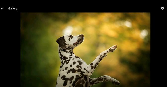Dalmatian Wallpapers HD screenshot 5