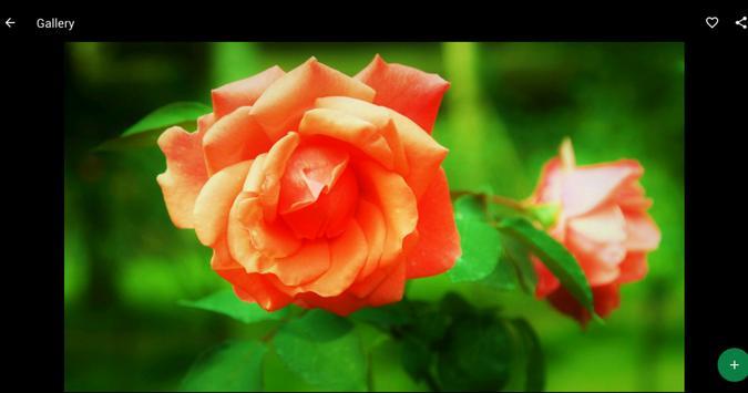 Orange Roses Wallpapers HD screenshot 5