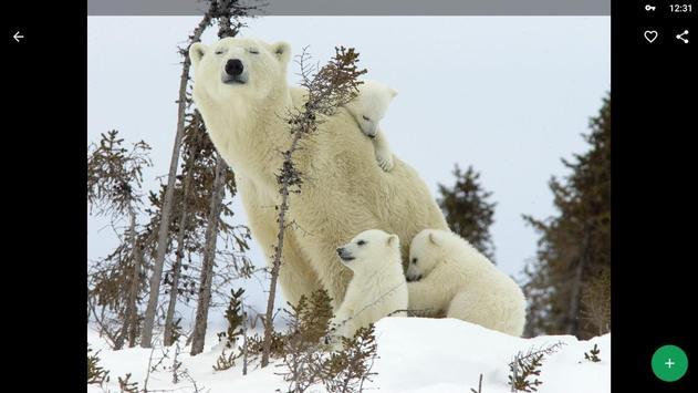 Polar Bear Wallpapers HD screenshot 7