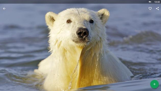 Polar Bear Wallpapers HD screenshot 9