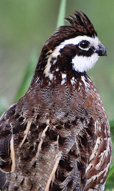 Quail Wallpaper For Android Apk Download