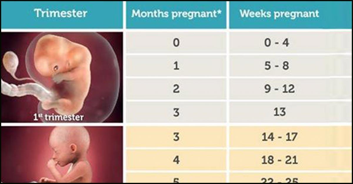 Pregnancy weeks chart of Pregnancy Calendar: