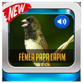 Canto De Papa-Capim Fêmea 2019 icon