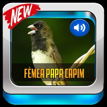 Canto De Papa-Capim Fêmea 2019 screenshot 4