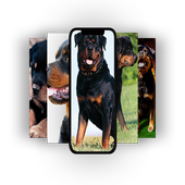 Amazing Rottweiler Wallpapers 4k 2019 For Android Apk Download