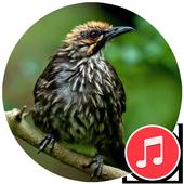 Straw-Headed Bulbul Sounds icon