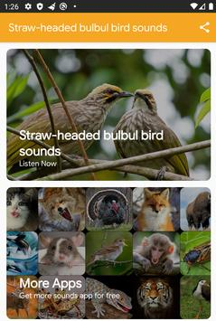 Straw-Headed Bulbul Sounds poster