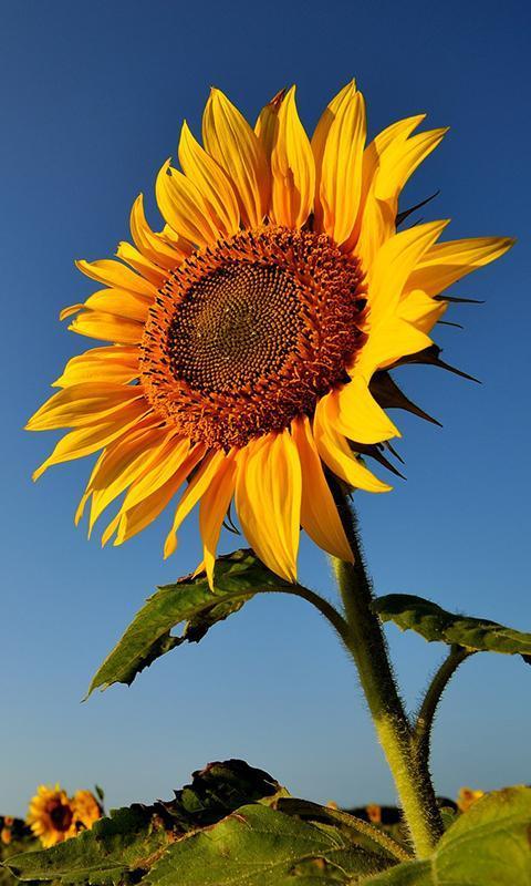 Sunflower Wallpaper Emoji