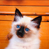 Fluffy Kittens Puzzle icon