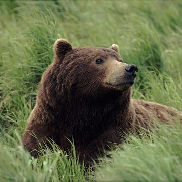 Bear Wallpaper 1 screenshot 4
