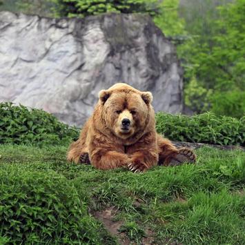 Bear Wallpaper 1 poster