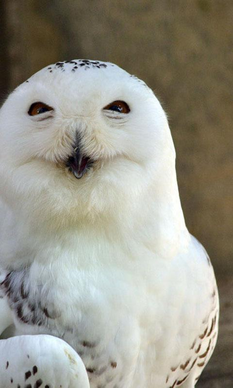 Snowy Owl Wallpaper For Android Apk Download